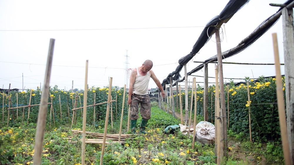 Hoa cúc nhuộm vàng cánh đồng trong nỗi xót xa của người nông dân ảnh 9