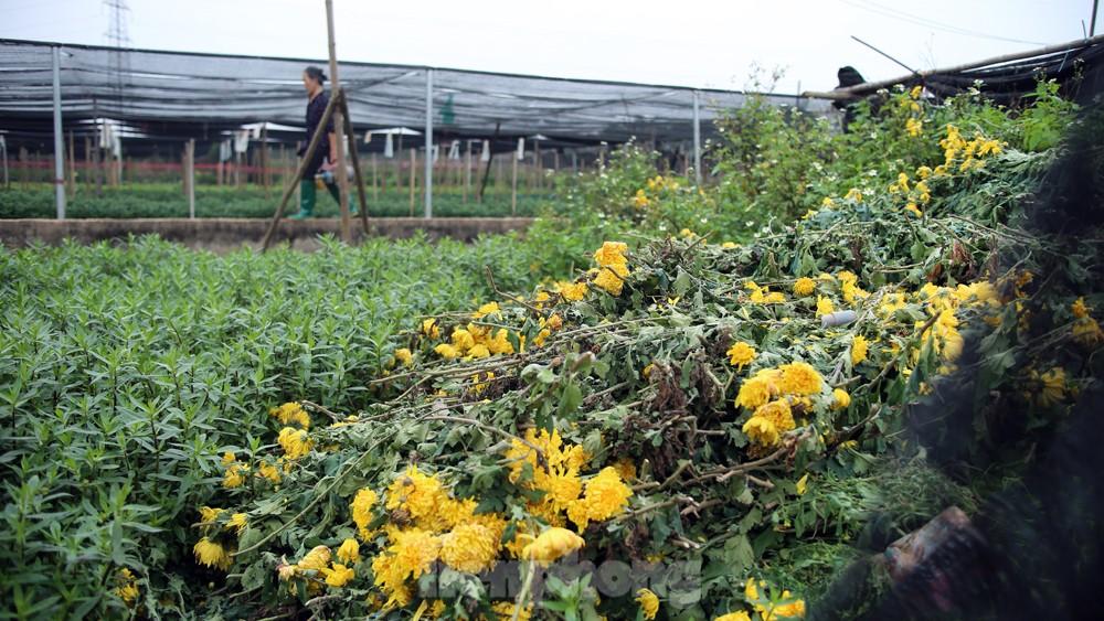 Hoa cúc nhuộm vàng cánh đồng trong nỗi xót xa của người nông dân ảnh 10