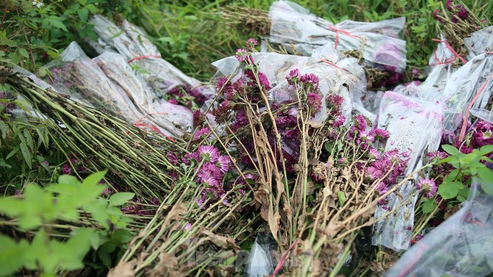 Hoa cúc nhuộm vàng cánh đồng trong nỗi xót xa của người nông dân ảnh 11