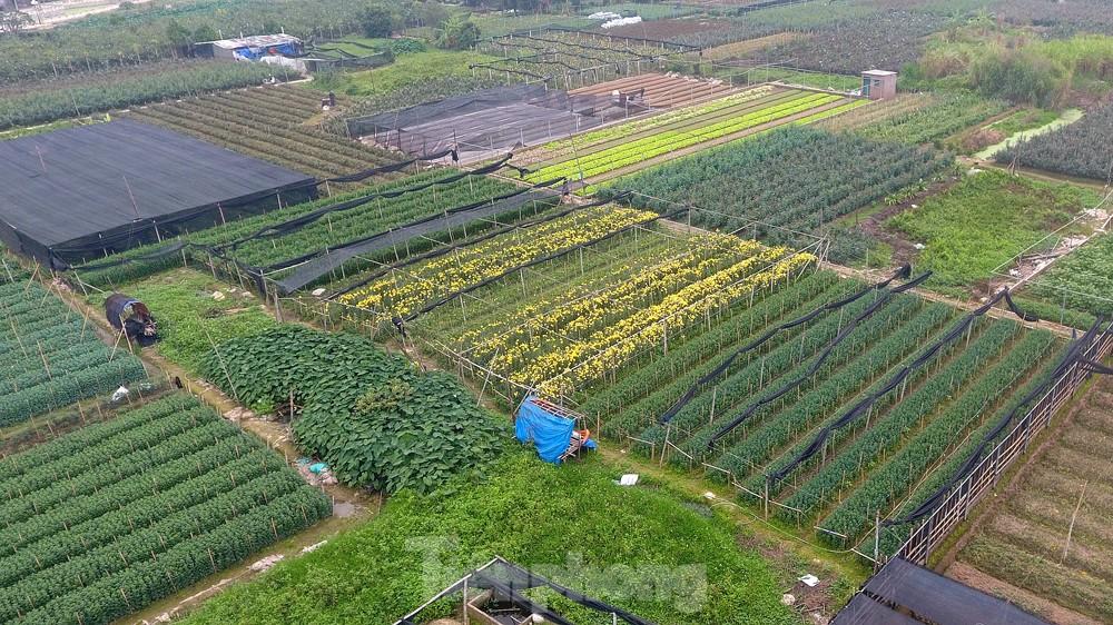 Hoa cúc nhuộm vàng cánh đồng trong nỗi xót xa của người nông dân ảnh 12