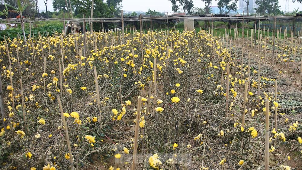 Hoa cúc nhuộm vàng cánh đồng trong nỗi xót xa của người nông dân ảnh 13