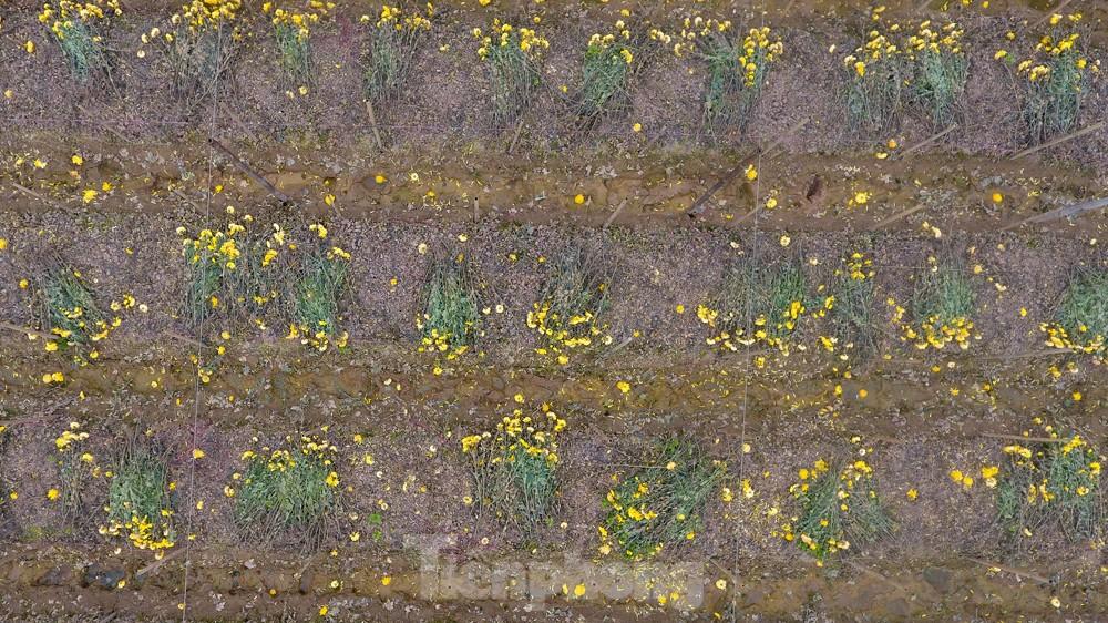 Hoa cúc nhuộm vàng cánh đồng trong nỗi xót xa của người nông dân ảnh 14