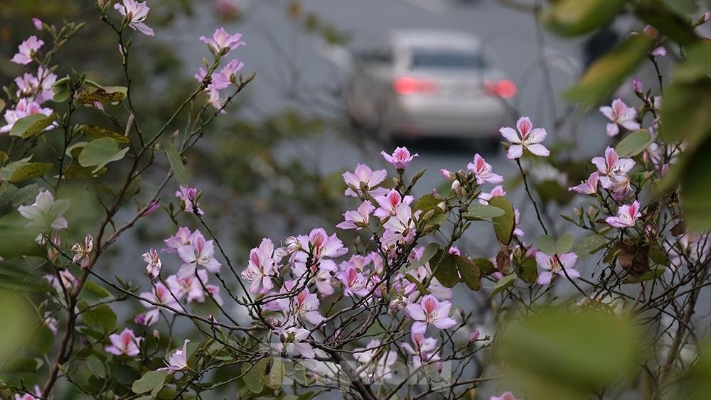 'Bay' trên đại lộ Võ Nguyên Giáp, mê mẩn ngắm hoa ban Tây Bắc ảnh 1