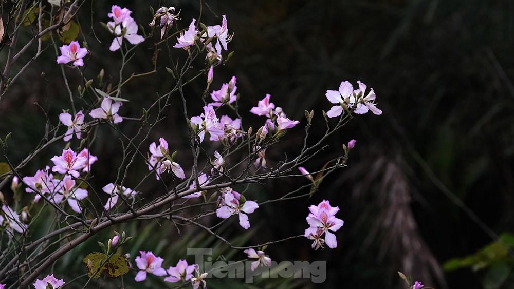 'Bay' trên đại lộ Võ Nguyên Giáp, mê mẩn ngắm hoa ban Tây Bắc ảnh 3