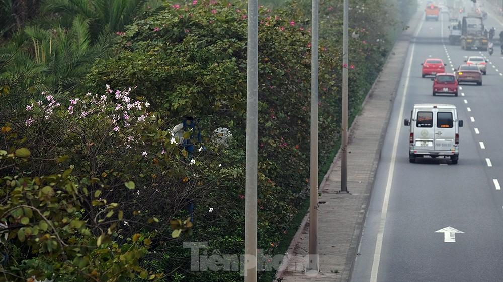 'Bay' trên đại lộ Võ Nguyên Giáp, mê mẩn ngắm hoa ban Tây Bắc ảnh 4
