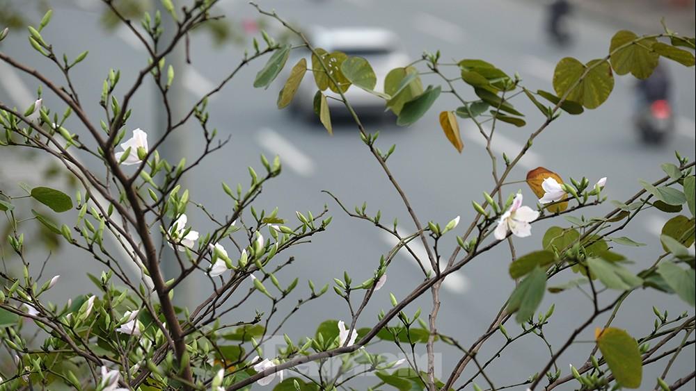 'Bay' trên đại lộ Võ Nguyên Giáp, mê mẩn ngắm hoa ban Tây Bắc ảnh 5