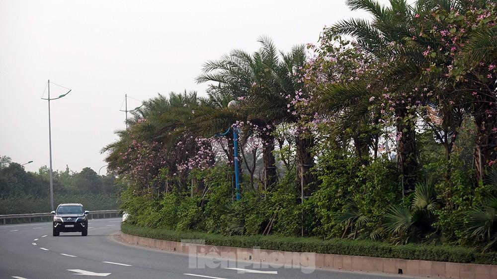 'Bay' trên đại lộ Võ Nguyên Giáp, mê mẩn ngắm hoa ban Tây Bắc ảnh 6