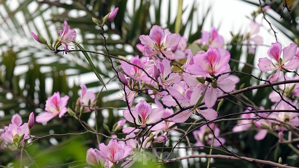 'Bay' trên đại lộ Võ Nguyên Giáp, mê mẩn ngắm hoa ban Tây Bắc ảnh 7