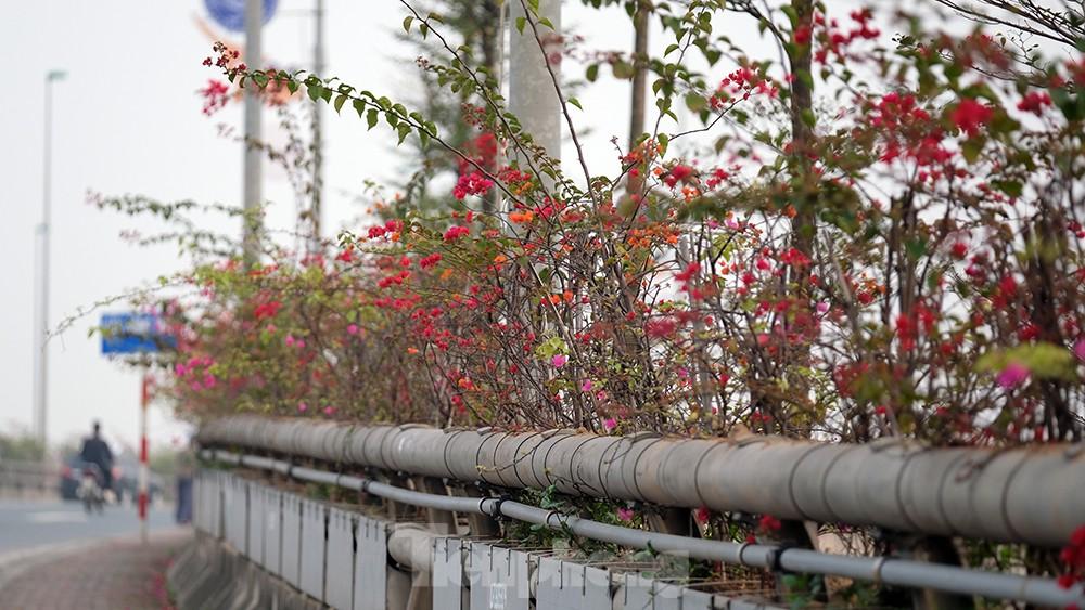 'Bay' trên đại lộ Võ Nguyên Giáp, mê mẩn ngắm hoa ban Tây Bắc ảnh 9