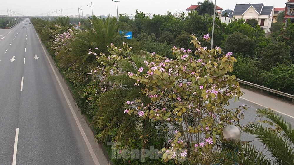 'Bay' trên đại lộ Võ Nguyên Giáp, mê mẩn ngắm hoa ban Tây Bắc ảnh 12