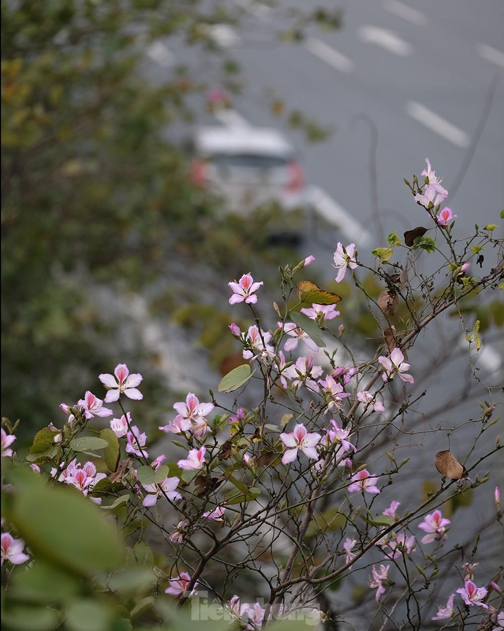 'Bay' trên đại lộ Võ Nguyên Giáp, mê mẩn ngắm hoa ban Tây Bắc ảnh 13