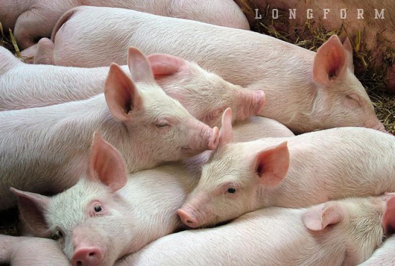 Giá lợn neo cao, ai đang hưởng lợi? ảnh 11