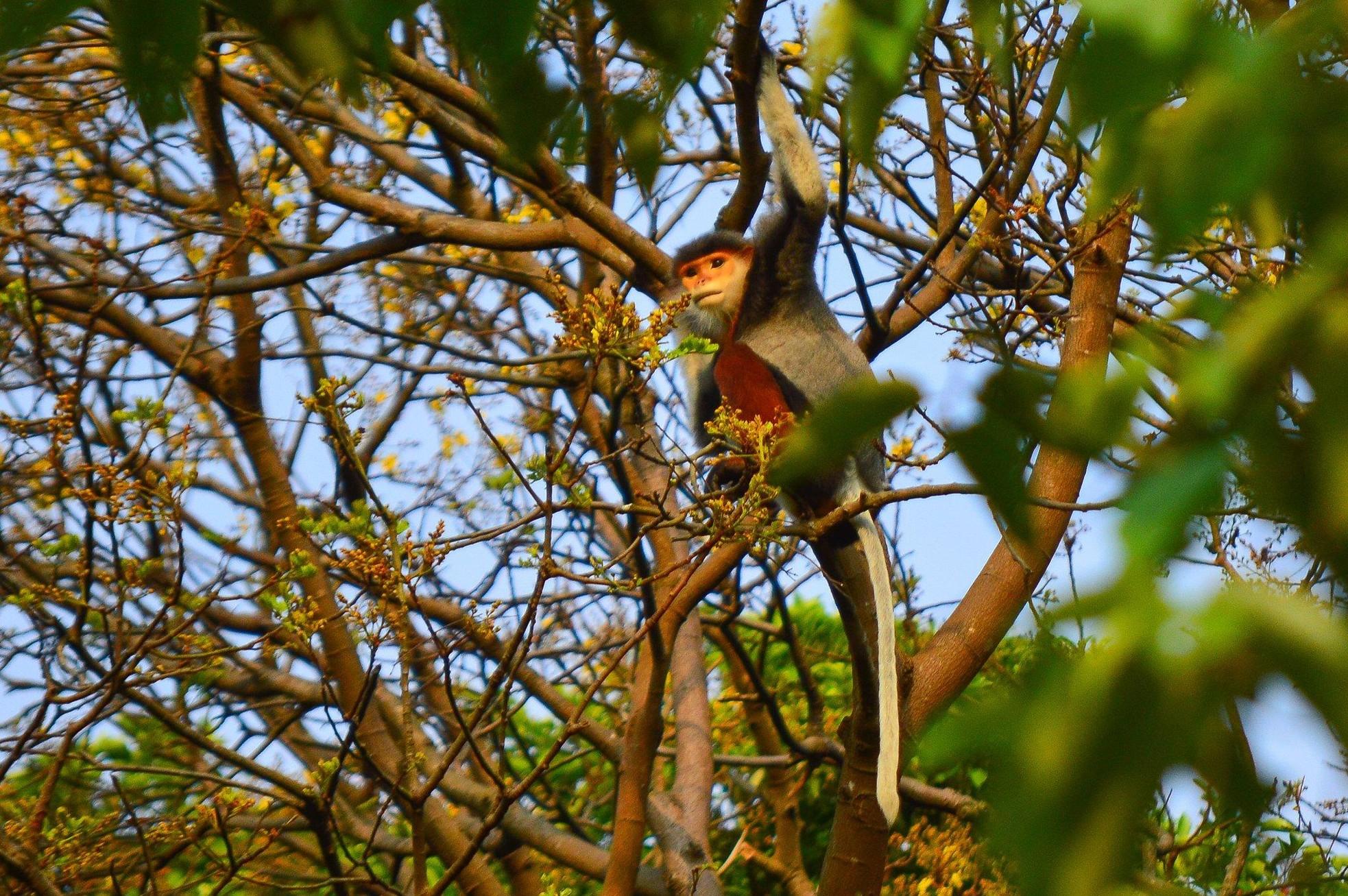 Rực rỡ mùa hoa lim xẹt trên bán đảo Sơn Trà ảnh 7
