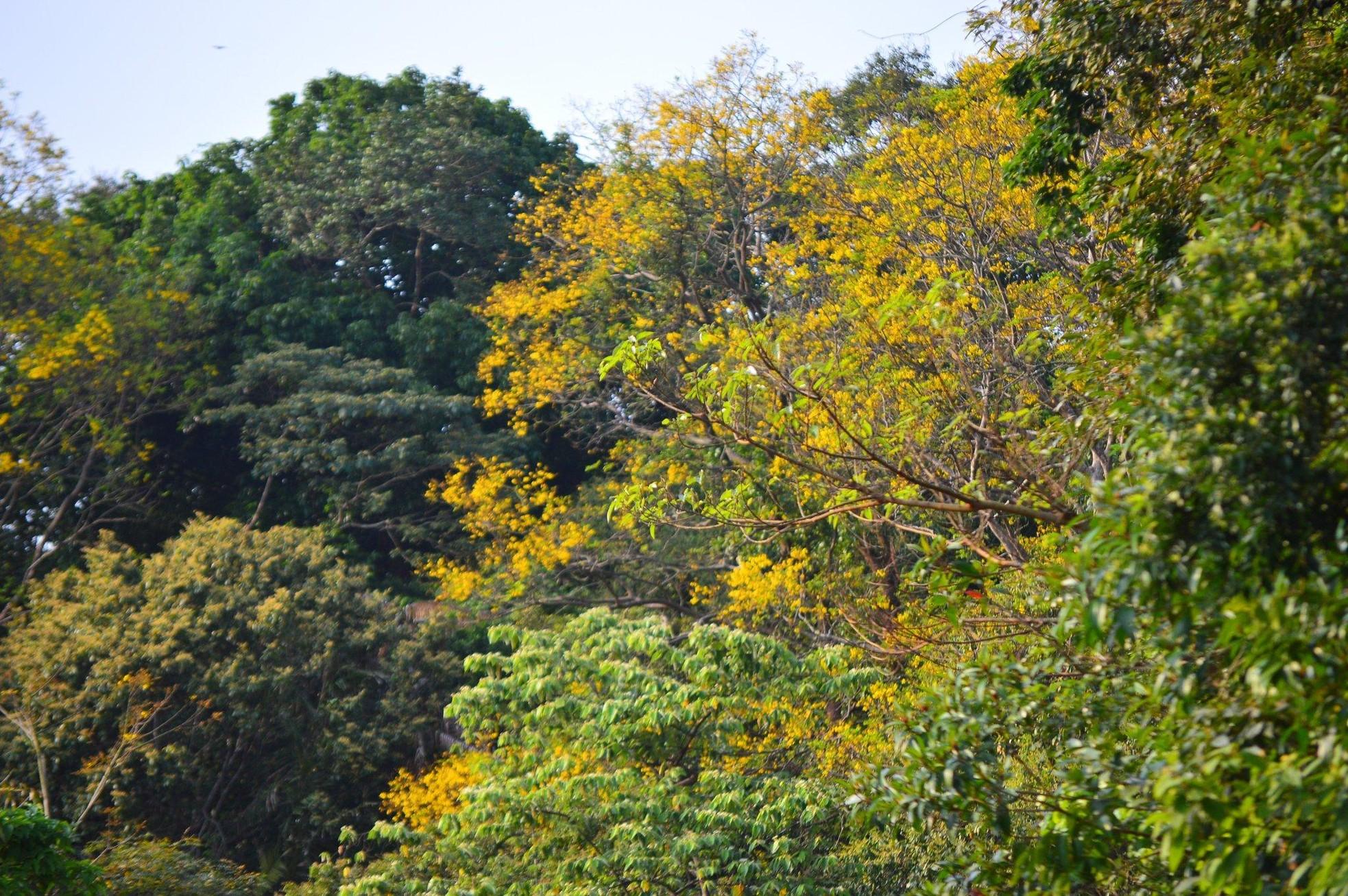 Rực rỡ mùa hoa lim xẹt trên bán đảo Sơn Trà ảnh 1