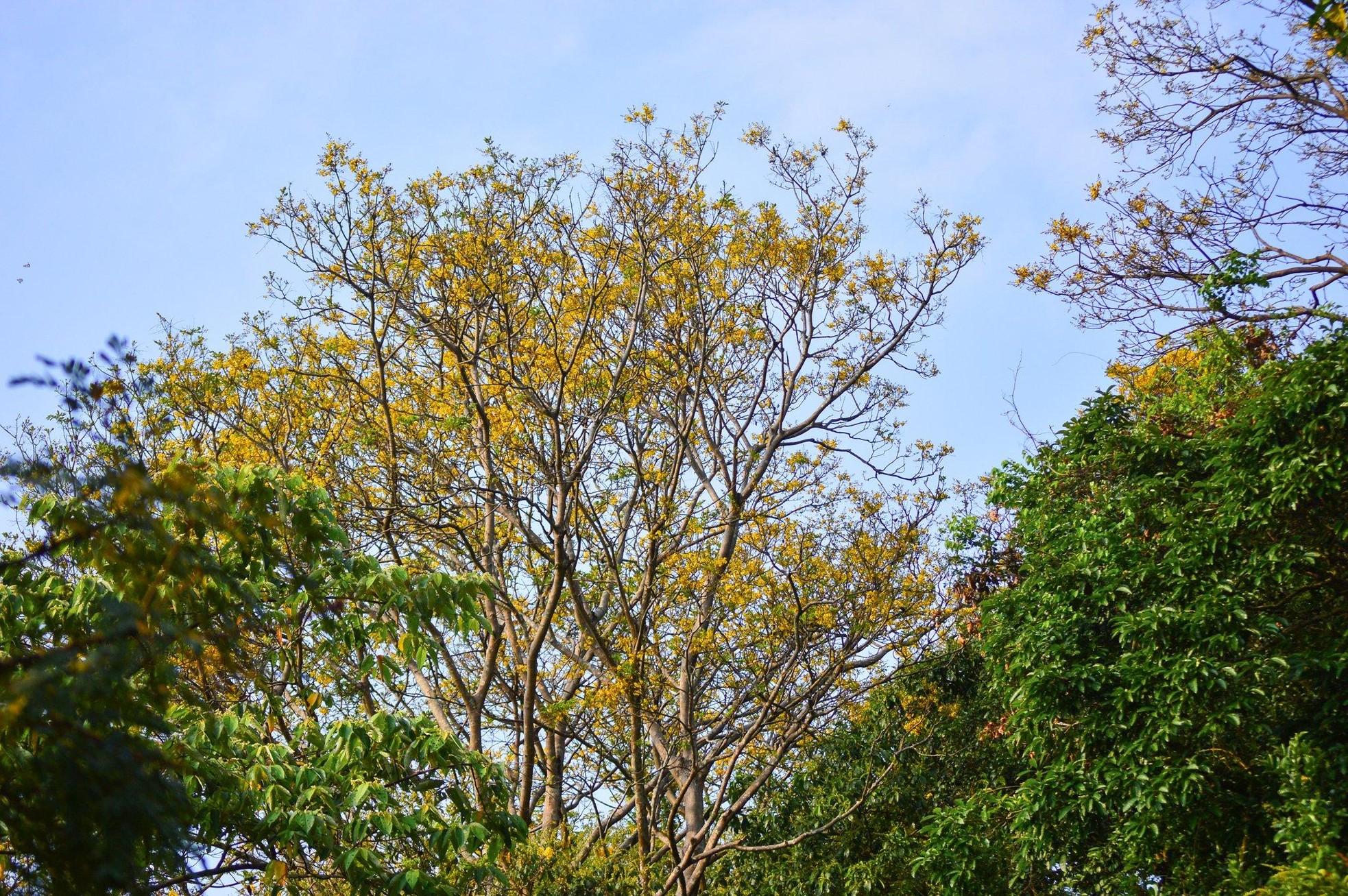 Rực rỡ mùa hoa lim xẹt trên bán đảo Sơn Trà ảnh 6