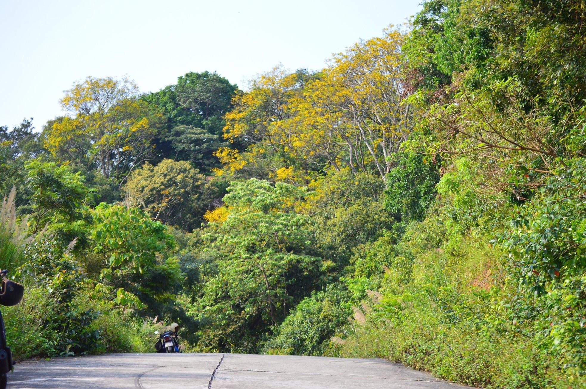 Rực rỡ mùa hoa lim xẹt trên bán đảo Sơn Trà ảnh 3