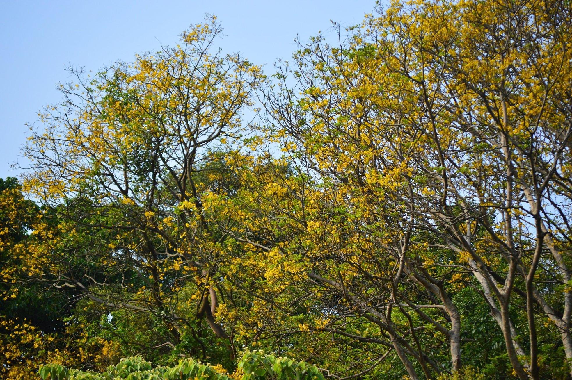 Rực rỡ mùa hoa lim xẹt trên bán đảo Sơn Trà ảnh 4