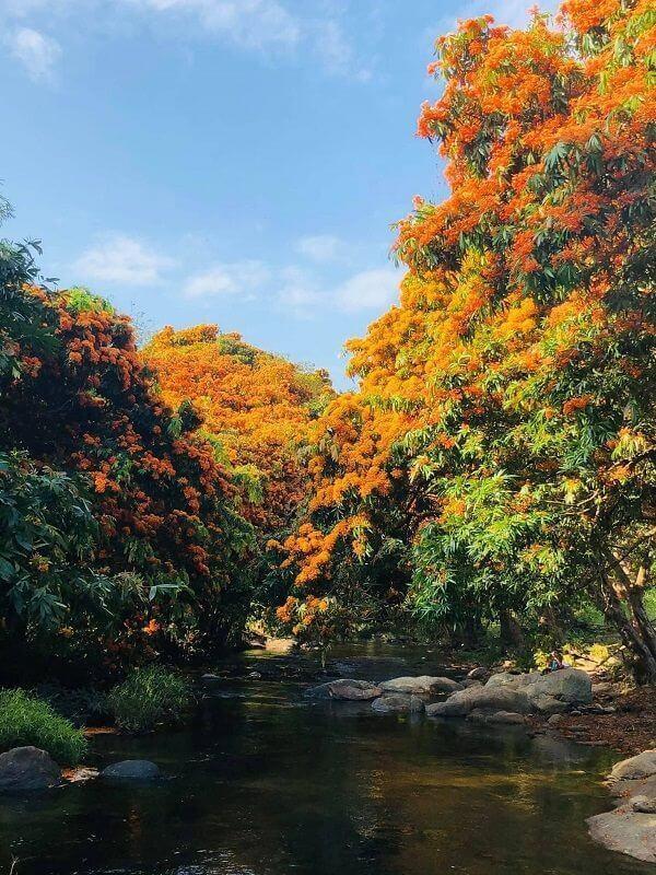 """Hoa trang rừng nở rộ sau nhiều năm, suối Tà Má trở thành điểm """"check-in"""" mới của giới trẻ ảnh 1"""