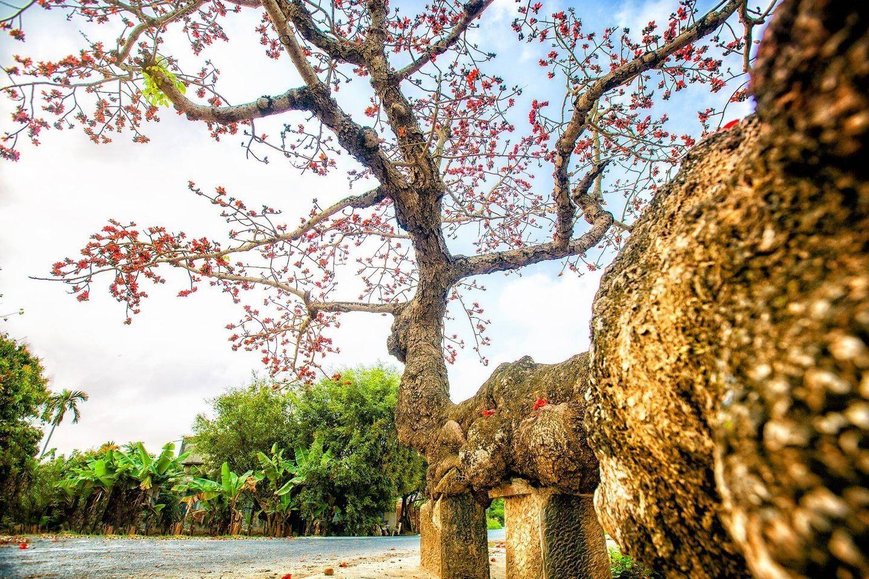Choáng ngợp trước bộ ảnh hoa gạo đẹp đến nao lòng trên miền quê Thái Bình ảnh 7