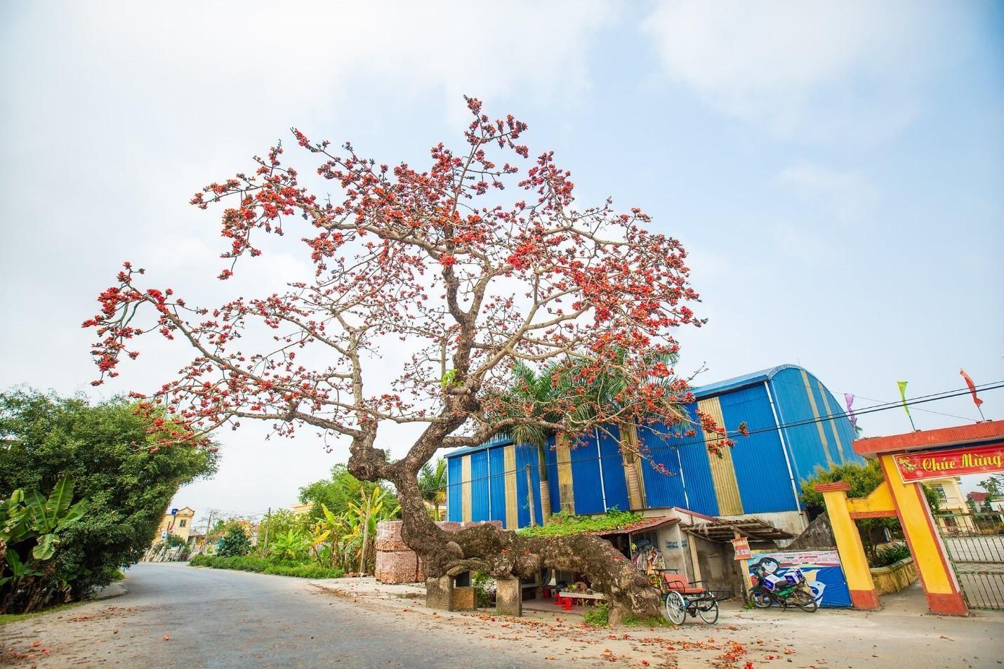 Choáng ngợp trước bộ ảnh hoa gạo đẹp đến nao lòng trên miền quê Thái Bình ảnh 4