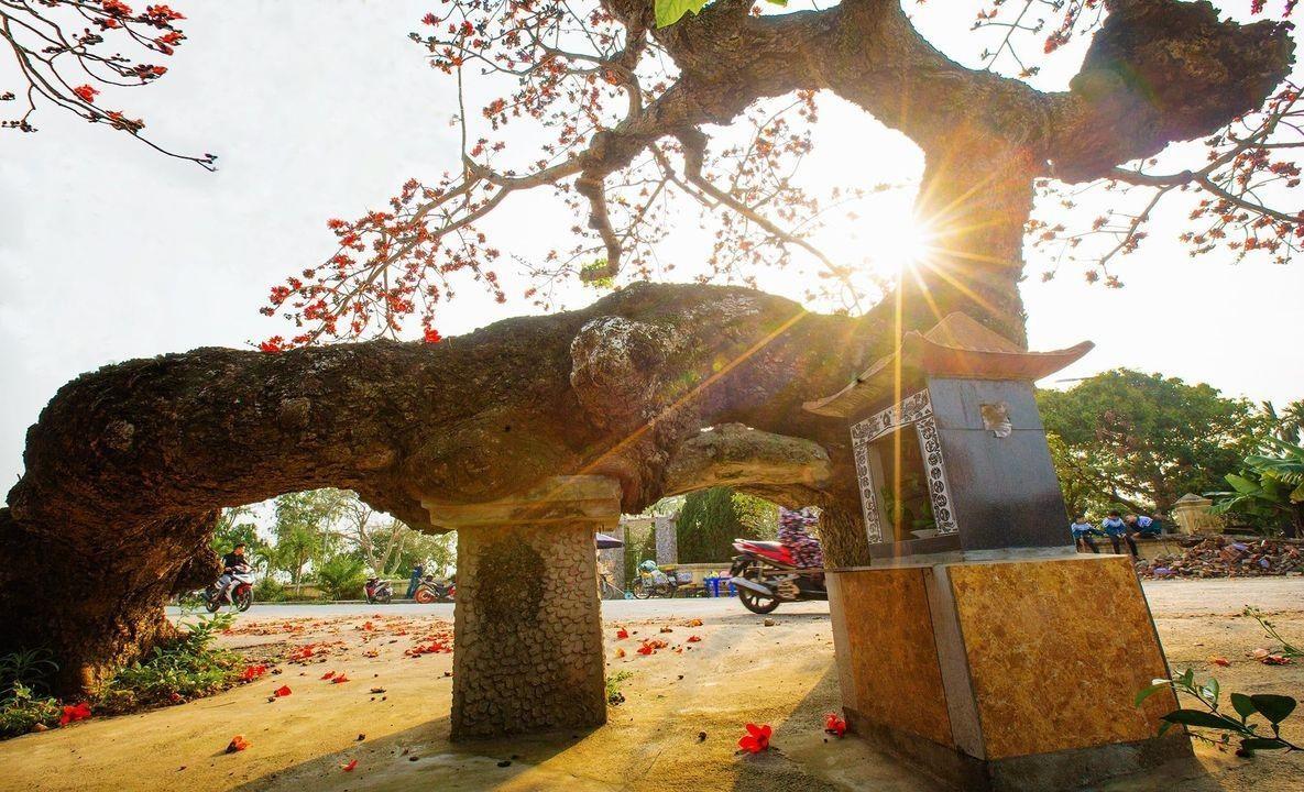 Choáng ngợp trước bộ ảnh hoa gạo đẹp đến nao lòng trên miền quê Thái Bình ảnh 3