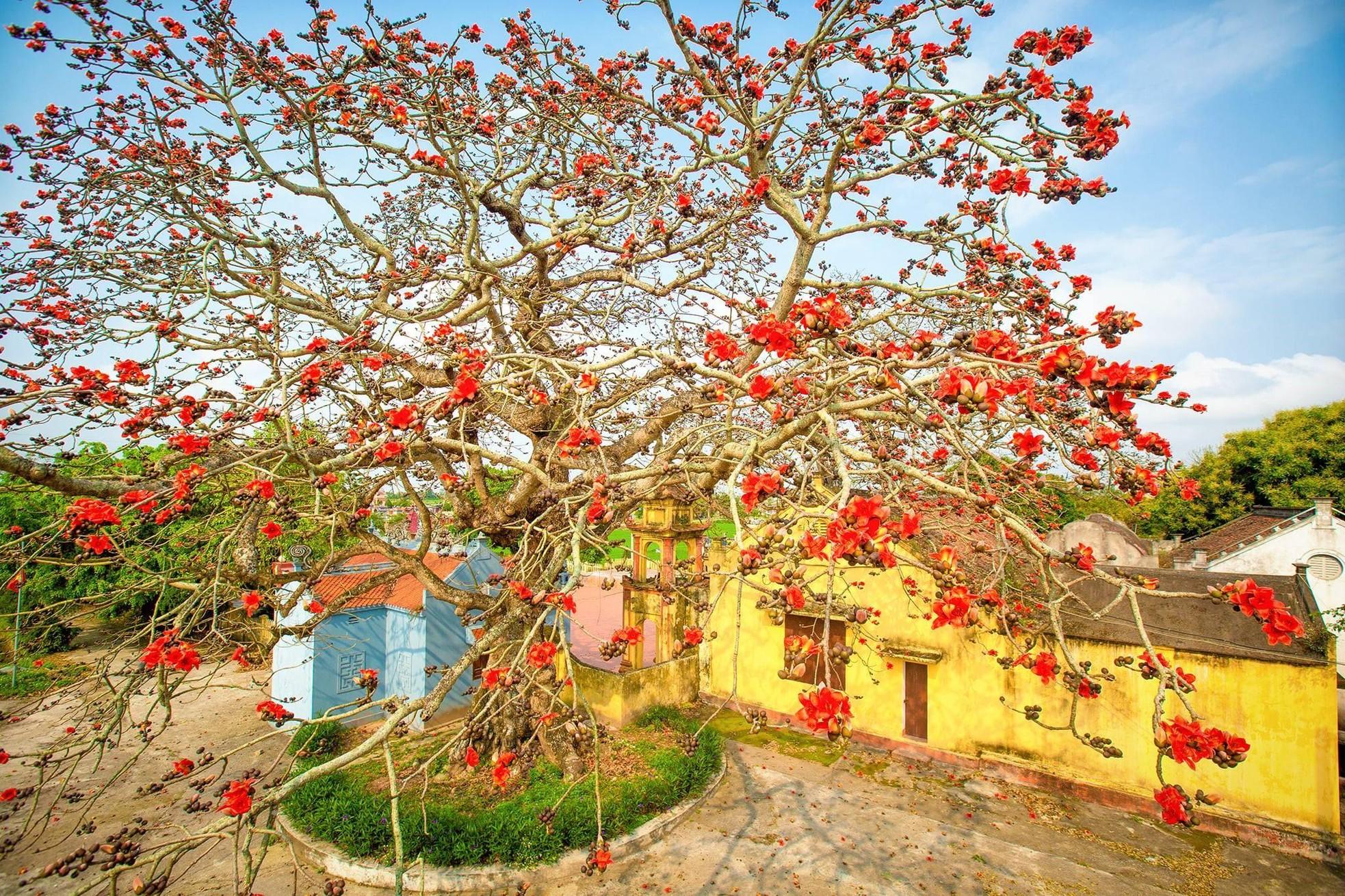 Choáng ngợp trước bộ ảnh hoa gạo đẹp đến nao lòng trên miền quê Thái Bình ảnh 1