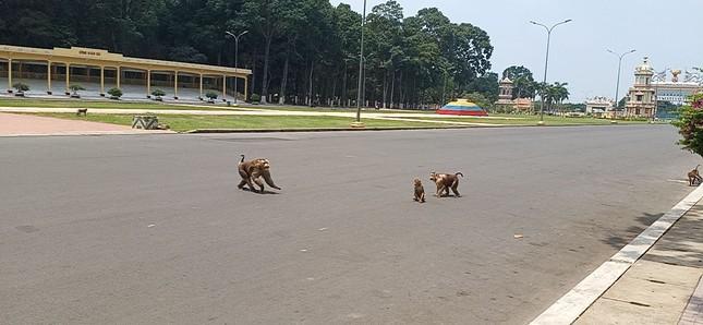 Vắng khách du lịch mùa dịch, bầy khỉ ở Tòa Thánh Tây Ninh đói ăn tràn ra đường ảnh 4