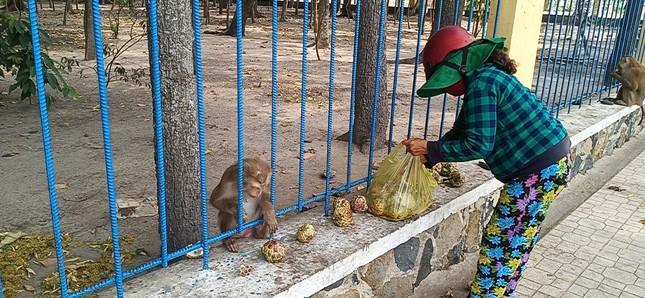 Vắng khách du lịch mùa dịch, bầy khỉ ở Tòa Thánh Tây Ninh đói ăn tràn ra đường ảnh 8