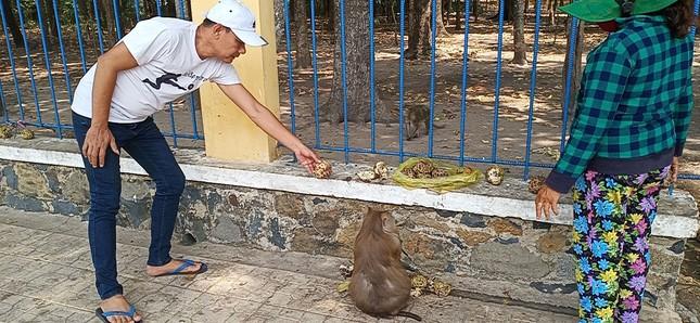 Vắng khách du lịch mùa dịch, bầy khỉ ở Tòa Thánh Tây Ninh đói ăn tràn ra đường ảnh 7