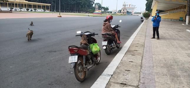Vắng khách du lịch mùa dịch, bầy khỉ ở Tòa Thánh Tây Ninh đói ăn tràn ra đường ảnh 3