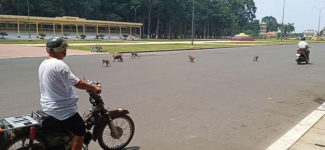 Vắng khách du lịch mùa dịch, bầy khỉ ở Tòa Thánh Tây Ninh đói ăn tràn ra đường ảnh 6