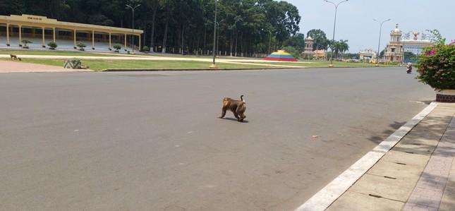Vắng khách du lịch mùa dịch, bầy khỉ ở Tòa Thánh Tây Ninh đói ăn tràn ra đường ảnh 5