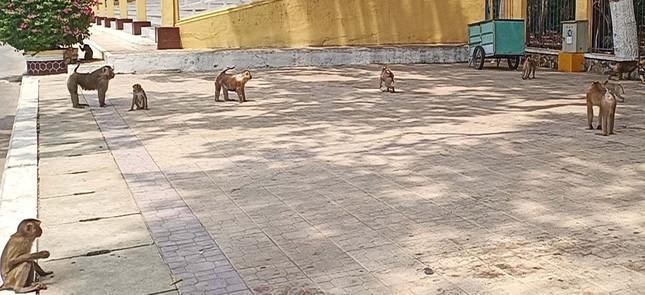 Vắng khách du lịch mùa dịch, bầy khỉ ở Tòa Thánh Tây Ninh đói ăn tràn ra đường ảnh 1