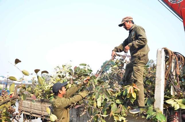 Chặt hạ, di chuyển hàng cây trước ĐH Giao thông ảnh 1
