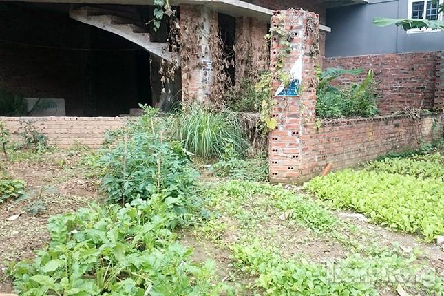 Người dân Thủ đô trồng rau trên biệt thự tiền tỷ bỏ hoang ảnh 3