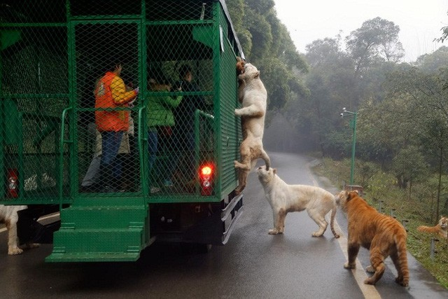 Kinh hãi cảnh du khách bị đàn sư tử, hổ bao vây ảnh 1