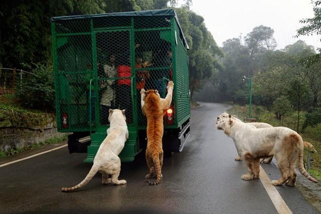Kinh hãi cảnh du khách bị đàn sư tử, hổ bao vây ảnh 2