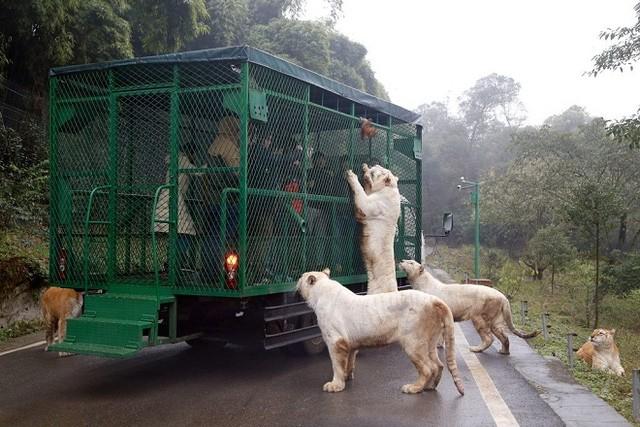 Kinh hãi cảnh du khách bị đàn sư tử, hổ bao vây ảnh 3