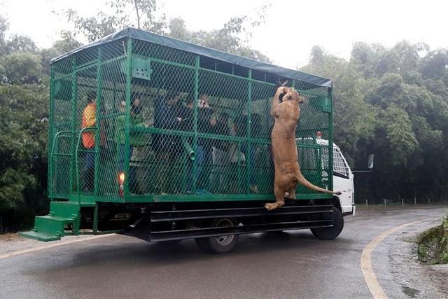 Kinh hãi cảnh du khách bị đàn sư tử, hổ bao vây ảnh 4