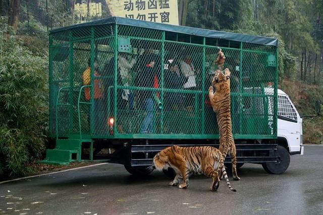 Kinh hãi cảnh du khách bị đàn sư tử, hổ bao vây ảnh 5