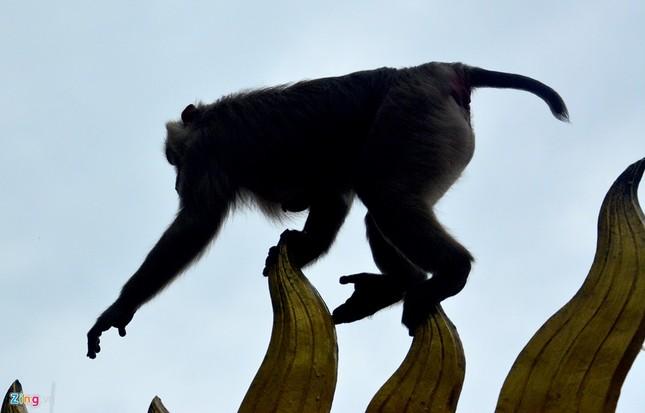 Cận cảnh bầy khỉ nương nhờ nơi cửa phật ở Bình Dương ảnh 9