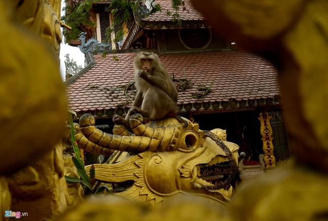 Cận cảnh bầy khỉ nương nhờ nơi cửa phật ở Bình Dương ảnh 10