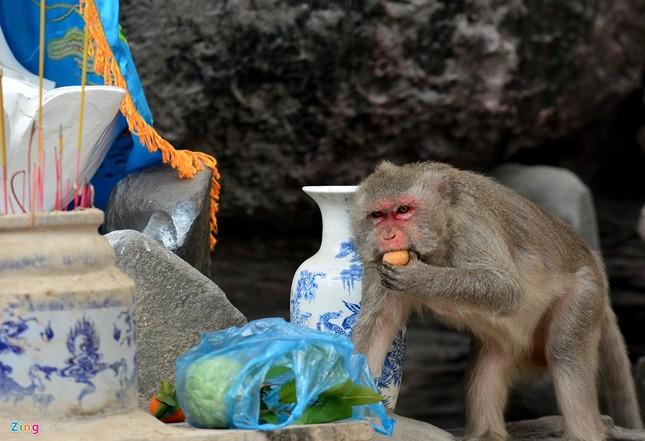 Cận cảnh bầy khỉ nương nhờ nơi cửa phật ở Bình Dương ảnh 11