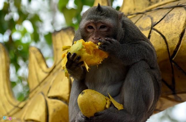 Cận cảnh bầy khỉ nương nhờ nơi cửa phật ở Bình Dương ảnh 12