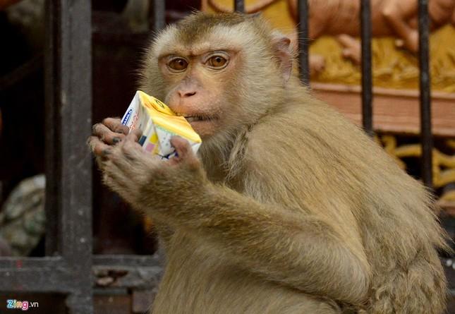 Cận cảnh bầy khỉ nương nhờ nơi cửa phật ở Bình Dương ảnh 13
