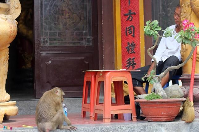 Cận cảnh bầy khỉ nương nhờ nơi cửa phật ở Bình Dương ảnh 16