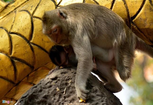 Cận cảnh bầy khỉ nương nhờ nơi cửa phật ở Bình Dương ảnh 19