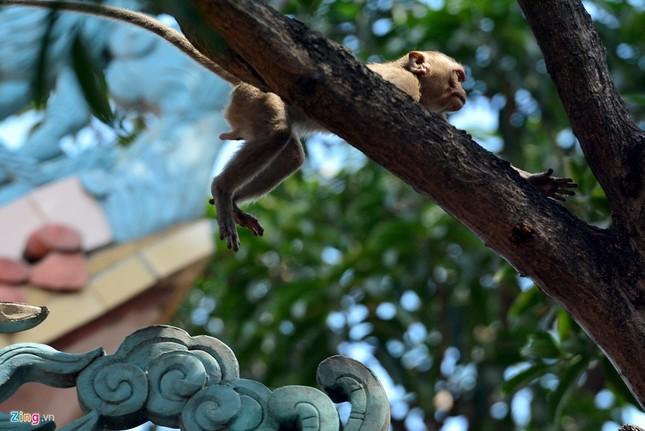 Cận cảnh bầy khỉ nương nhờ nơi cửa phật ở Bình Dương ảnh 6