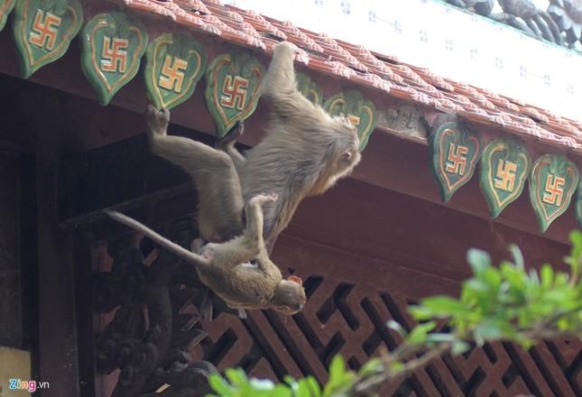Cận cảnh bầy khỉ nương nhờ nơi cửa phật ở Bình Dương ảnh 8