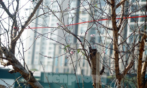 Dân buôn giới thiệu đào cổ thụ trồng ở Sơn La giá hơn 30 triệu đồng ảnh 10